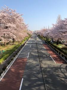 クリニックとなり駅の国立大学通りの桜は満開。今年の満開時期の上棟。撮影は今朝妹から。