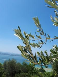 Lagoguardaで見つけたオリーブ木々の群生