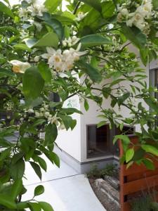 柚子も花は夏みかんにそっくり。復活がうれしいです<div id=