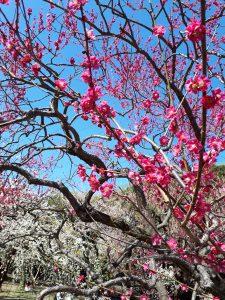 先日の祝日、満開の梅が。
